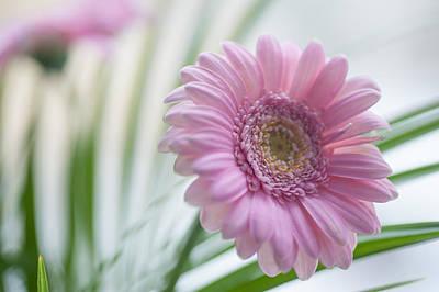 Photograph - Emerging. Pink Gerbera Macro by Jenny Rainbow