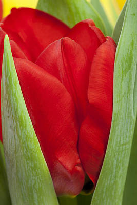 Photograph - Emerging Red Tulip by Gillian Dernie