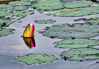 Photograph - Emerging Water Lily by Steven Ralser