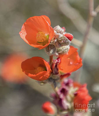 Photograph - Emory's Globemallow  A9267 by Stephen Parker