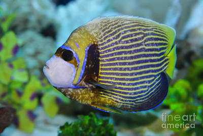 Photograph - Emperor Angelfish Adult by Olga Hamilton
