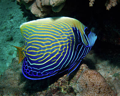 Photograph - Emperor Angelfish, Red Sea by Pauline Jacobson