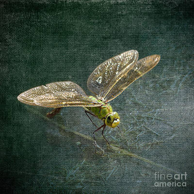 Photograph - Emperor Dragonfly by Liz  Alderdice