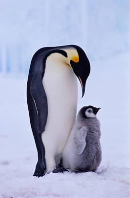 Sea Birds Photograph - Emperor Penguin Adult With Chick by Kevin Schafer