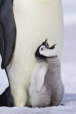 Emperor Penguin And Hungry Chick Art Print by Jean-Louis Klein & Marie-Luce Hubert