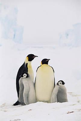 Baby Bird Photograph - Emperor Penguin Aptenodytes Forsteri by Konrad Wothe