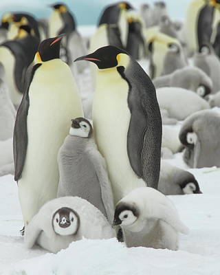 Photograph - Emperor Penguin Colony by Bruce J Robinson