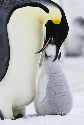 Parental Care Photograph - Emperor Penguin Feeding Chick by Jean-Louis Klein & Marie-Luce Hubert