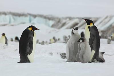 Photograph - Emperor Penguin Landscape by Bruce J Robinson