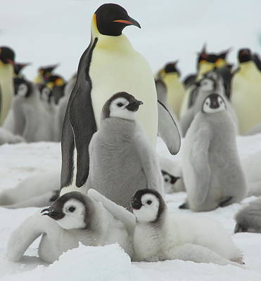 Photograph - Emperor Penguin Pals by Bruce J Robinson