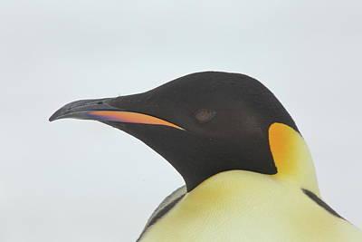 Photograph - Emperor Penguin Portrait by Bruce J Robinson