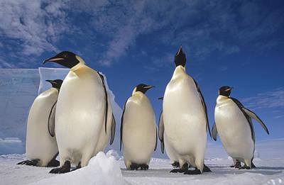 Antarctic Ocean Photograph - Emperor Penguins Antarctica by Tui De Roy