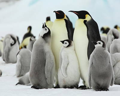 Photograph - Emperor Penguins by Bruce J Robinson