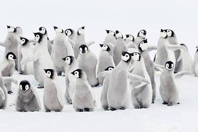 Emperor Penguins, Group Of Chicks. Art Print by Martin Ruegner