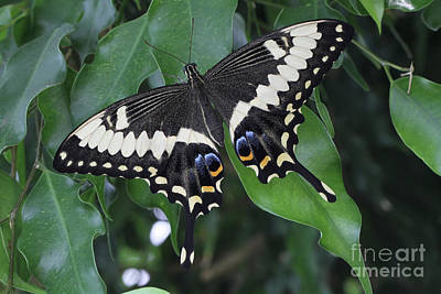 Photograph - Emperor Swallowtail Butterfly #3 by Judy Whitton
