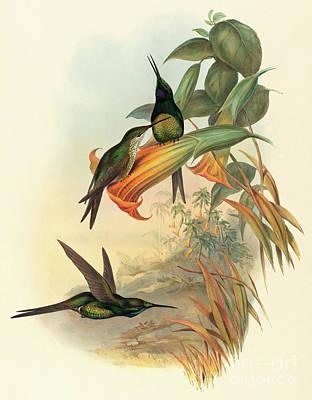 Flora Drawing - Empress Hummingbird by John Gould