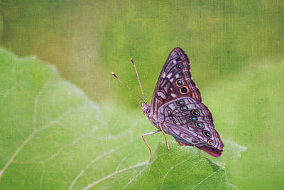 Photograph - Empress Lelia Butterfly by Kathy Adams Clark