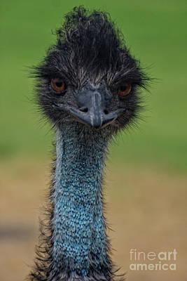 Photograph - Emu Portrait by Douglas Barnard