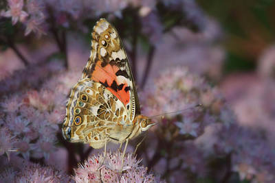 Photograph - En Garde - Painted Lady - Butterfly by Nikolyn McDonald