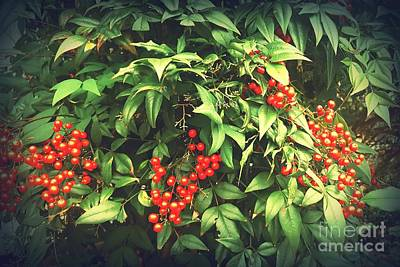 Photograph - Enchanted Nandina by Rachel Hannah