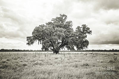Photograph - Enchanted  Oak - Sepia Toned by Scott Pellegrin