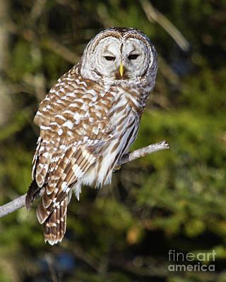 Enchanting Barred Owl Art Print by Lloyd Alexander