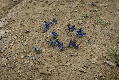 Photograph - Enchanting Butterflies - Exquisite Sapphire Clusters On The Ground by Georgia Mizuleva