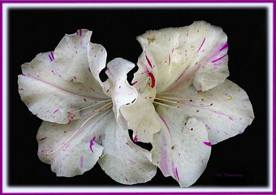 Photograph - Encore Azaleas by James C Thomas