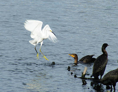 Photograph - Encounter - Egret With Cormorant by Margie Avellino