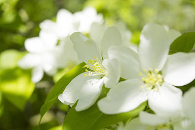 The Sakura Photograph - Encyclopedia Of Spring Image Apple Blossom  by Irina Effa