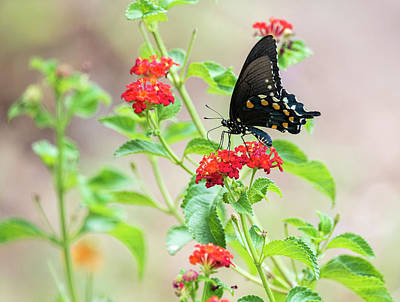Blue Swallowtail Photograph - End Of Summer  by Saija Lehtonen