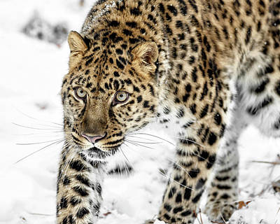 Photograph - Endangered Amur Leopard by Wes and Dotty Weber