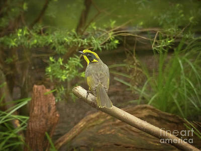Endangered Helmeted Honeyeater Australia Print by Teresa A and Preston S Cole Photography