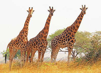 Photograph - Endangered Rothchild's Giraffes by Dennis Cox WorldViews