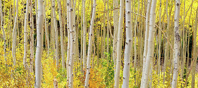 Photograph - Endless Aspens Point 44 by Ryan Moyer