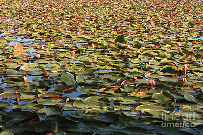 Photograph - Endless Lily Pond by Carol Groenen