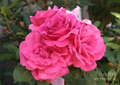 Energizing Pink Roses Print by Carol Groenen
