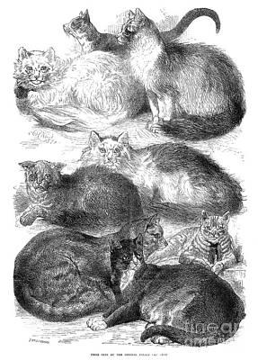 Photograph - England: Cat Show, 1871 by Granger