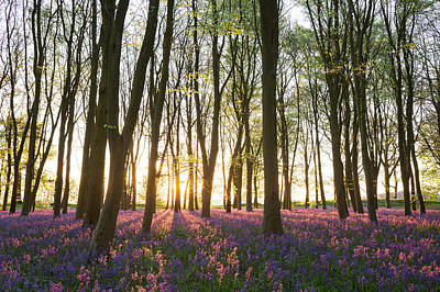 Photograph - English Bluebell Wood by Chris Deeney