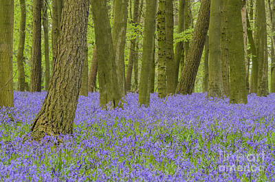 Photograph - English Bluebell Woods by Michael  Winters