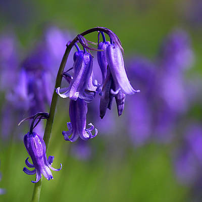 Photograph - English Bluebells 3 by Shirley Mitchell