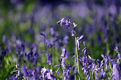 Photograph - English Bluebells In Bloom by Julia Gavin