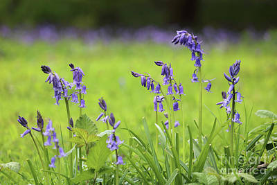 Photograph - English Bluebells Surrey by Julia Gavin