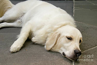 Photograph - English Golden Retriever Dog Lying Down Art Prints by Valerie Garner