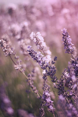 Photograph - English Lavender Field by Ethiriel  Photography