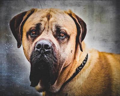 Bull Mastiff Photograph - English Mastiff Dog Portrait by Debi Bishop