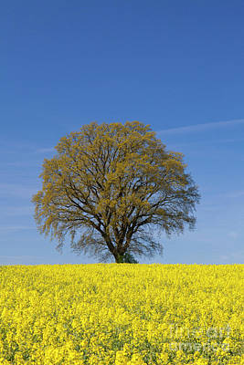 Photograph - English Oak In Spring by Arterra Picture Library
