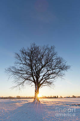 Photograph - English Oak In The Snow by Arterra Picture Library