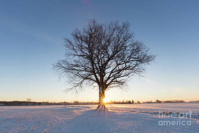 Photograph - English Oak In Winter by Arterra Picture Library