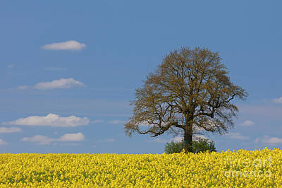 Photograph - English Oak Tree by Arterra Picture Library